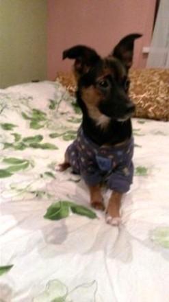Продается, в связи с отъездом, единственный щенок от мамы карликового пинчера и . Киев, Киевская область. фото 5