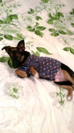 Продается, в связи с отъездом, единственный щенок от мамы карликового пинчера и . Киев, Киевская область. фото 7
