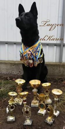Питомник elKarin предлагает к бронированию щенков от шикарной пары немецких овча. Киев, Киевская область. фото 8