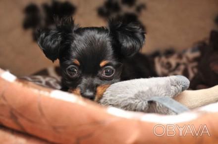 Продам  девочку  Чихуа-хуа 3 месяца,д.ш.самостоятельна и готова к переезду,непер. Днепр, Днепропетровская область. фото 1