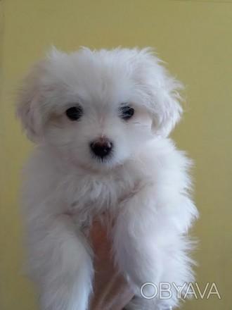 Продам щенка (мальчик) мальтийской болонки. Сделана прививка. Есть видео и допол. Бахмут, Донецкая область. фото 1
