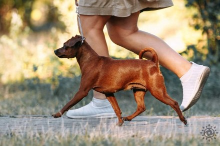 Питомник *GRACEAURUM* предлагает щенка цвергпинчера, рыжую девочку,от родителей . Киев, Киевская область. фото 8
