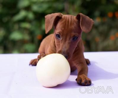 Питомник *GRACEAURUM* предлагает щенка цвергпинчера, рыжую девочку,от родителей . Киев, Киевская область. фото 1
