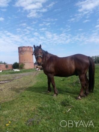 Продам коня, кінь спокійний ходить в косілці, грибачці плузі, носить верхомлу