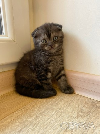Шотландский вислоухий котёнок девочка Scottish Fold Скоттиш Фолд кошечка