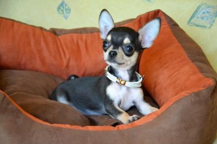 Красивый и необычный щенок в благородном окрасе, светлый подпал, без недостатко. Киев, Киевская область. фото 3