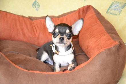 Красивый и необычный щенок в благородном окрасе, светлый подпал, без недостатко. Киев, Киевская область. фото 6