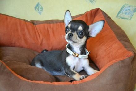 Красивый и необычный щенок в благородном окрасе, светлый подпал, без недостатко. Киев, Киевская область. фото 5