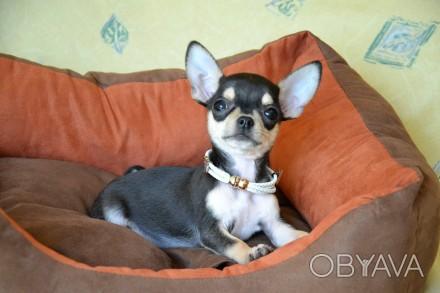 Красивый и необычный щенок в благородном окрасе, светлый подпал, без недостатко. Киев, Киевская область. фото 1