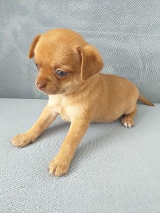 Невероятно красивая девочка чихуахуа,  готова переехать в новую семью. 1.5 месяц. Пирятин, Полтавская область. фото 10