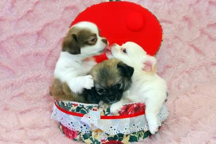 Продаем щенков длинношерстной Чихуахуа, мальчик и две девочки. Родились 10 мая 2. Киев, Киевская область. фото 2