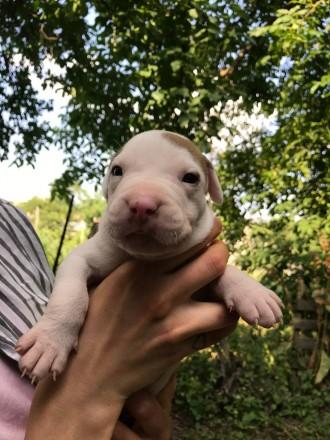 Открыта бронь на чистокровных щенков питбуля red nose. Рождены 28 июня. 7 маль. Черновцы, Черновицкая область. фото 10