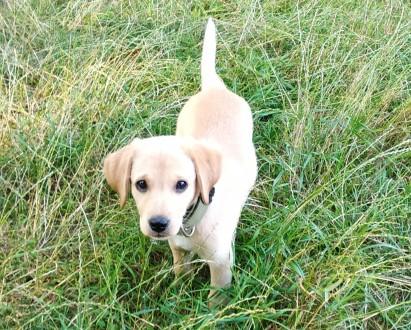 Гарний собака Лабрадор ретвирент золотистий прізвіще Барон  3 місяця. Хмельницкий, Хмельницкая область. фото 3