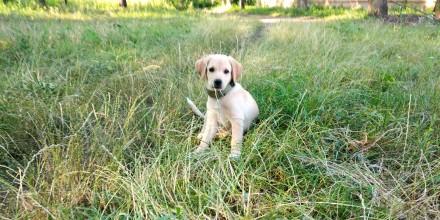 Гарний собака Лабрадор ретвирент золотистий прізвіще Барон  3 місяця. Хмельницкий, Хмельницкая область. фото 2