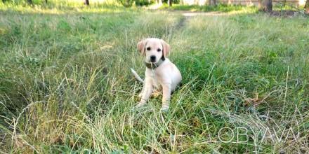 Гарний собака Лабрадор ретвирент золотистий прізвіще Барон  3 місяця. Хмельницкий, Хмельницкая область. фото 1