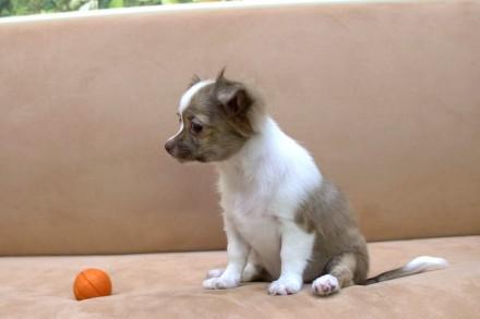 Щенок Чихуахуа (мальчик, трехцветный, коричнево-белый). Родился 10 мая 2021 года. Киев, Киевская область. фото 3
