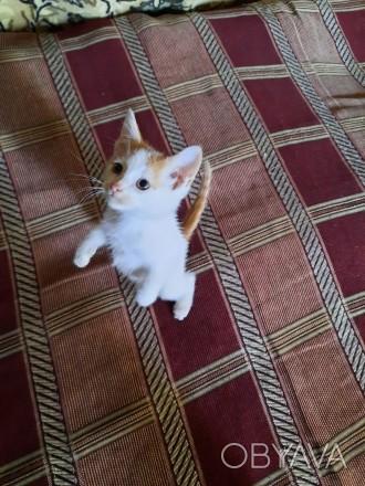 Котёнок метис тайской кошки, 2 месяца