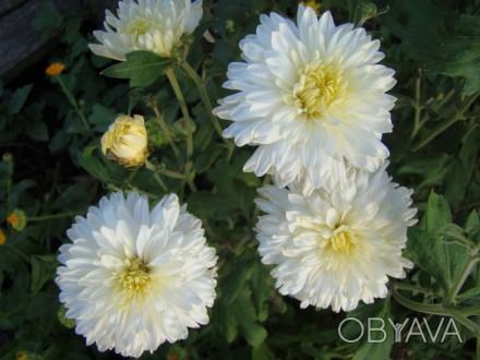 хризантема белая садовая